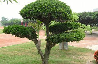 【榕树专题】榕树栽培种植技术|榕树病虫害