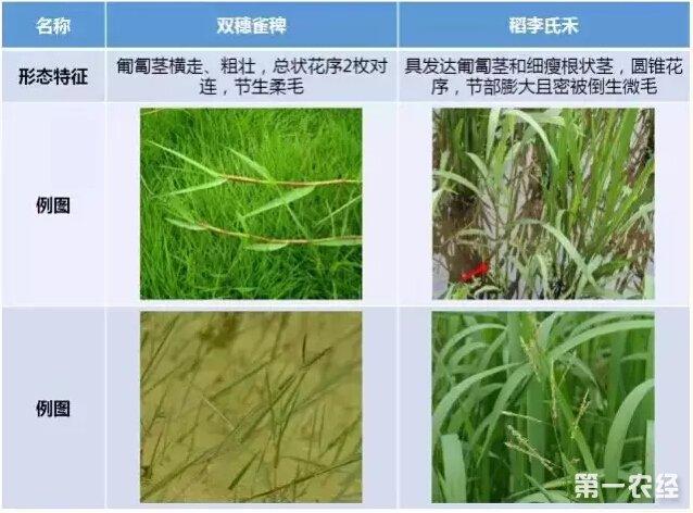 水稻穗部结构示意图