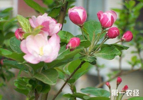 海棠病虫害及其防治大全