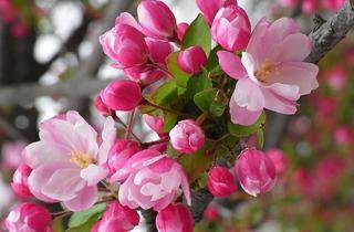 【海棠专题】海棠种植技术大全|病虫害防治