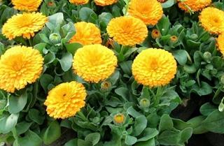 【金盏菊专题】金盏菊种植技术|病虫害防治