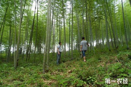 福建邵武拿口竹子与山杉木混种促增收