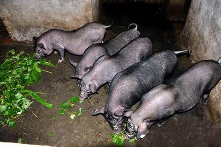 貴州銅仁滿山跑的蘿卜豬身價高