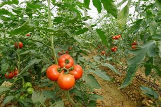 【番茄专题】番茄种植技术大全|番茄病虫害