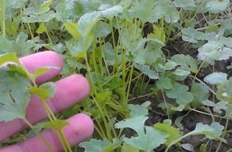 【香菜专题】香菜种植技术|香菜病虫害防治