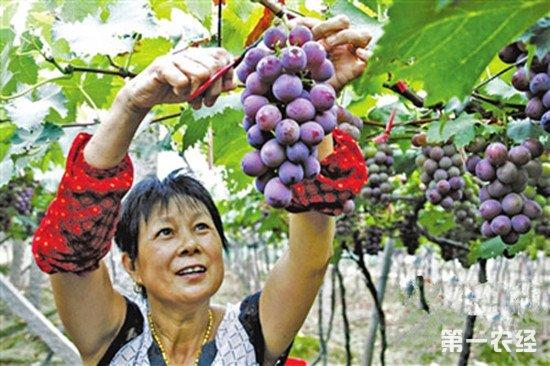 福建宁德特产:福安葡萄