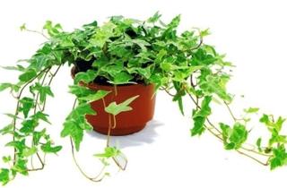 【常春藤专题】常春藤种植技术|病虫害防治