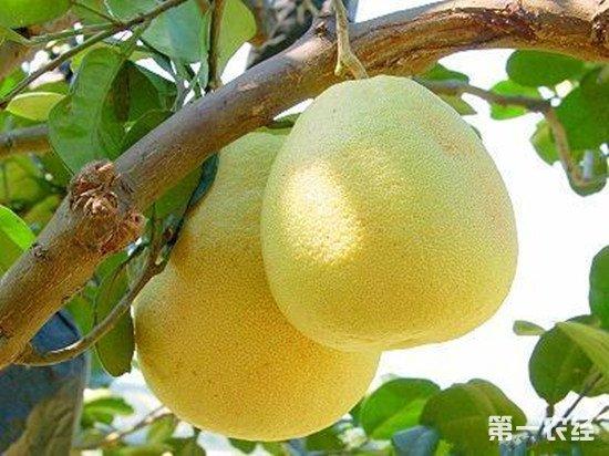 福建莆田特产水果:文旦柚