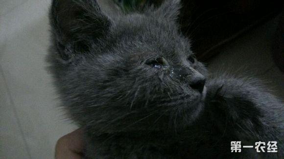 猫眼睛流泪是因为伤心吗?