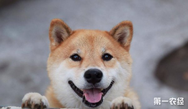 萨摩耶犬历史:以西伯利亚牧民族萨摩人而命名 ,一向被用来拉雪橇和看守驯鹿。萨摩耶犬以具有忍耐力与健壮的体格而闻名。欧洲探险家使用此犬从事南北极探险工作。此犬毛色很多,一般有黑色,黑白色,黑与黄褐色,最终以白色被毛品种占优势. 19世纪末,毛皮商人将此犬输入美国欧洲等地,并认为此犬富有光泽的白毛可赚大钱。萨摩耶犬是
