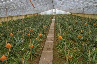 【菠萝专题】菠萝种植技术大全|凤梨病虫害