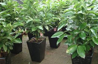 【平安树专题】平安树栽培种植技术|病虫害防治