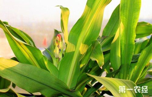 巴西木叶子发黄原因及解决方法