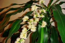 巴西木开花有毒吗?