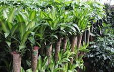 巴西木的繁殖技术