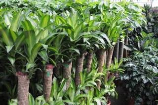 【 巴西木专题】巴西木栽培种植技术|病虫害防治