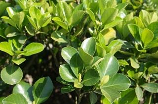 【冬青树专题】冬青树栽培种植技术|病虫害