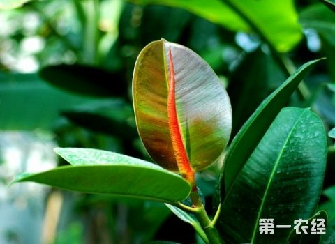 橡皮树掉叶子的原因和解决方法