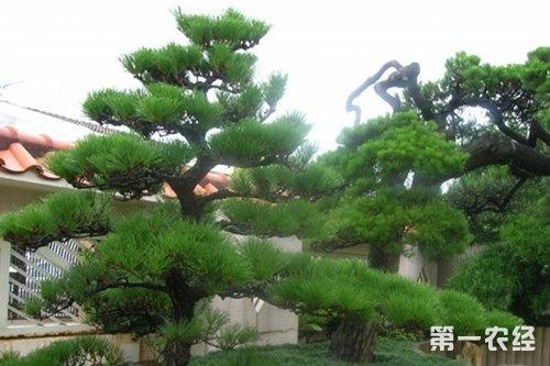 盆景 盆栽 树 松 松树 植物 500_333