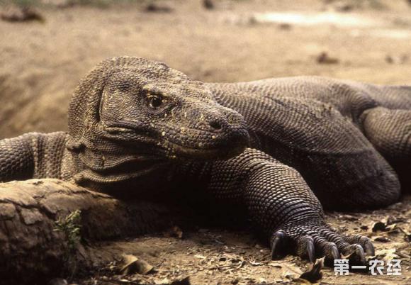 像被饲养的: 阿根廷黑白泰加,白喉巨蜥,蓝树巨蜥,绿树巨蜥,泽巨蜥