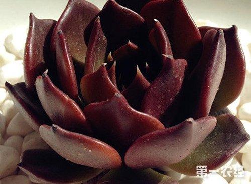 宝石花种类有哪些 宝石花种类大全 图片