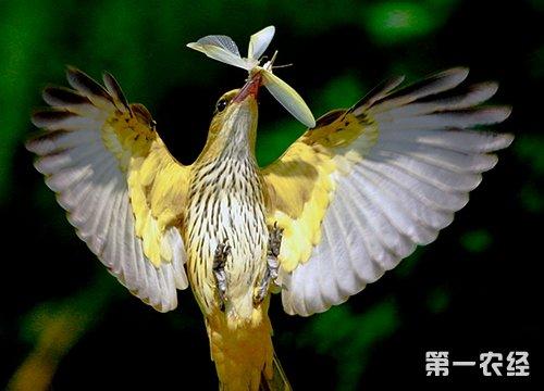 黄鹂鸟为树栖性鸟类.食物以昆虫为主,也吃些植物的果实和种子.
