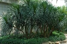 国产龙血树的主要有哪些品种?