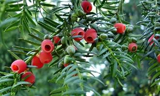 红豆杉的繁殖方法有哪些?