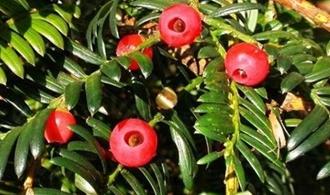 中国红豆杉种类有哪些?