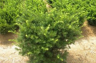 【红豆杉专题】红豆杉种植技术|病虫害