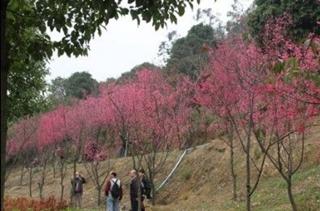 【樱花专题】樱花种植技术|病虫害