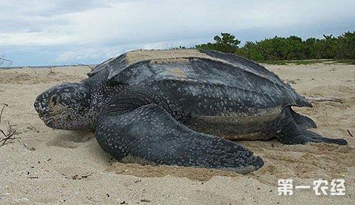 世界上最大的乌龟 - 养殖技术