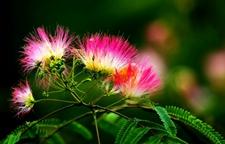 合欢花的繁殖方法与种植技术