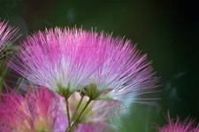 合欢花什么时候开,合欢花有几种颜色?