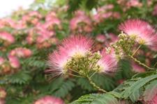 合欢花有几种?合欢花种类及图片欣赏