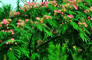 【合欢花专题】合欢花种植技术|病虫害