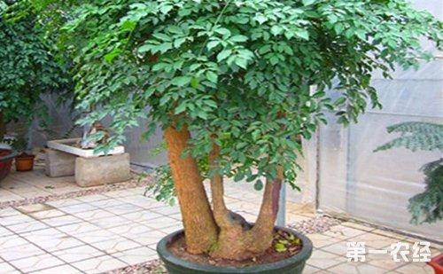 修剪      养幸福树的目的是为了观赏