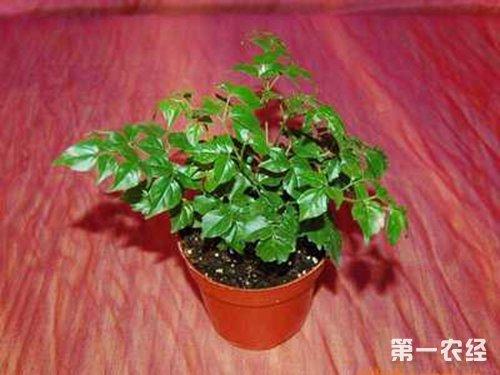 幸福树/菜豆树盆栽怎么浇水?