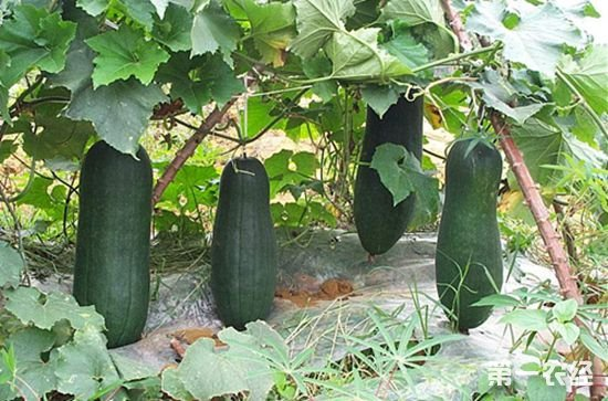 广西玉州特产:黑皮冬瓜