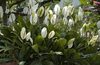 【白掌专题】白掌的养殖方法 白鹤芋病虫害