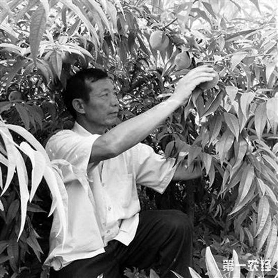 """""""桃""""致富:1个桃子1斤重,1亩蜜桃卖1万元"""