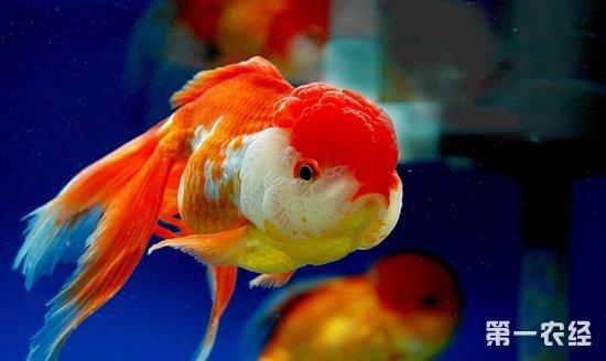 家庭怎样养金鱼视频_狮子头金鱼怎么养? - 养殖技术 - 第一农经网