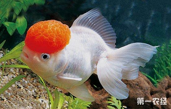 4、放养密度: 家养的长方形水族箱因体积较小,千万不可多养,宜少不宜多。如在长为40厘米、宽25厘米、高30厘米的容器内,可饲养5~7厘米长的小金鱼6 ~8尾。如直径为26厘米、高为13厘米的圆形玻璃缸,可养4~6厘米的小金鱼4~6尾。鱼体身长超过8厘米的成鱼,不宜在小型的玻璃缸中饲养,而需在大玻璃缸中或的陶瓷缸中饲养,并配以小型充氧机备用,以防缺氧。这些放养密度只是参考数字,还要看水温的高低、鱼体的强弱和水质的好坏来决定,不能机械行事。一般说来,鱼体大,养数少;冬季多养,夏季少养;水温低时可多养,水