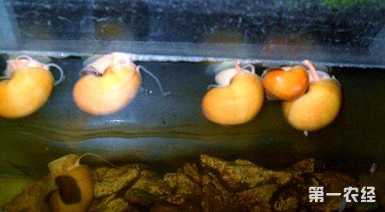 【专家解答】黄金螺需要2个以上才可以一繁殖的,还有壳有裂痕说明水太软了,就是缺钙。繁殖力极强。黄金螺的受精卵在空气中孵化需10~15天,发育成仔螺后破膜而出,掉入水中。你想孵化出来养在缸里面?不怎么好哦!还是想办法清除了吧!   黄金螺为雌雄异体、体内受精、体外发育的卵生动物,良好饲养条件下,3~4月龄可达性成熟。每年3~11月为黄金螺的繁殖季节,其中5~8月是繁殖盛期,适宜水温为18~30。交配通常在水中白天进行,时间长达3~5小时,一次受精可多次产卵,交配后3~5天开始产卵,夜间雌螺爬到离水面1
