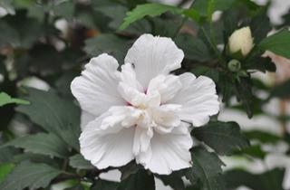 【木槿专题】木槿花的养殖方法|木槿病虫害