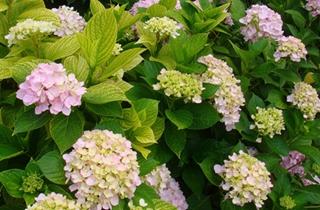 【绣球花专题】绣球花种植技术|八仙花病虫害