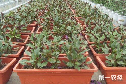 蔬菜移栽步骤示意图