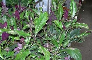 【观音菜专题】观音菜种植技术|病虫害