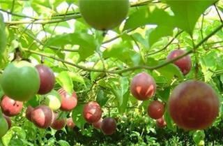 【西番莲专题】西番莲种植技术|病虫害