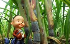 甘蔗收购价被取消 海南制糖企业可自主定价
